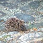 hedgehog outside our back door