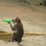 Monkey menace in the Periyar Lake