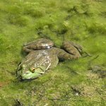 Many frogs were croaking in the Cypress Woods/Swamp.