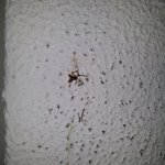 Sqaushed spider left on room wall upon arrival
