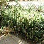 Bloeiende cactussen bij de ingang van Punda Maria (maart 2014)