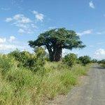 Baobab in de buurt van Restcamp Punda Maria (maart 2014)
