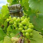 a nearby vineyard