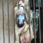 People hand sodas to the monkeys as some have learned to open the bottles to take a sip.