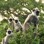 Whole family of grey langurs