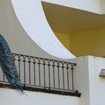 Peacock on a balcony