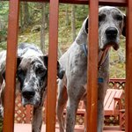 Rescue dogs - Zoey and Charlie very friendly Great danes