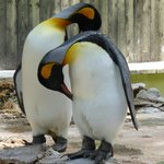 King penguins - very special and precious