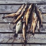 Walleye and Crappie