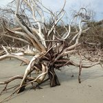 An Entire Driftwood Forest on the North End of the Island