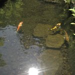Koi in a pond.
