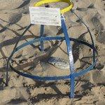 Protection des oeufs de tortue Caretta
