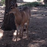 Deer in campground.