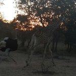 Ostrige chasing giraffe :)