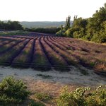 lavender field.  She is located very close to the Museum of Lavender.