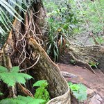 サキシマスオウノ木の板根