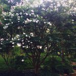 Beautiful crape myrtle trees