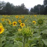 Buttonwood Farm Ice Cream and Sunflower Tour