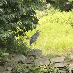 Great Blue herons galore at the potomac river