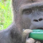 Gorillas and Orangutans abound