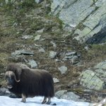 picture of musk oxen