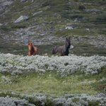 picture of icelander horses in park