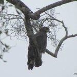 Aguila en el Parque de Kaudulla