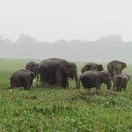 Elefantes en el Parque de Kaudulla