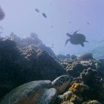 Lots of turtles around Bunaken