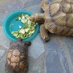 Tortoise (LARGE and regular size)