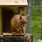 A red squirrel having breakfast - Photo taken from the bed!