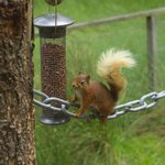 A red squirrel on the feeder