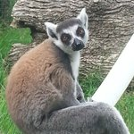 Ring tailed Lenur