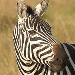 Zebra in Masaai Mara