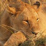 Lioness in Masaai Mara