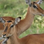 Thompson's Gazelles in Aberdare NP