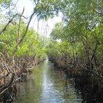 Racing Through the Mangrove Path