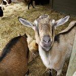 Goat greeting