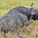 Cape Buffalo at Sabi Sands