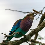 A lilac-breasted Roller tossing a grasshopper
