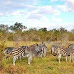 Zebra at Sabi Sands
