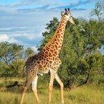 Giraffe at Sabi Sands