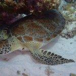 Sea Turtle at Chitales Reef