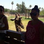 Photo bombing Giraffe!