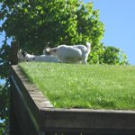 More goats on the roof