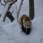 円山動物園 レッサ-パン2013年12月