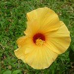 желтый гибискус