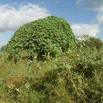 Boom bedekt met klimplant in het noorden van het Kruger Park, maart 2014