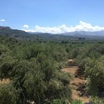 View over olive groves