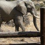 Elefant från altanen